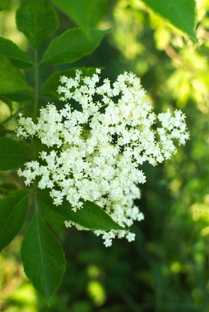 bez-czarny-686x1024 Kwiaty czarnego bzu w cieście naleśnikowym